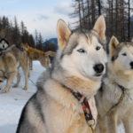 Chien de traineaux Vars Hautes Alpes Mush and co husky hiver randonnées Alpes