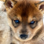 baby dog vars mush and co sleigh dogs husky
