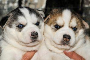 visite chenil vars mush and co sleigh dogs husky
